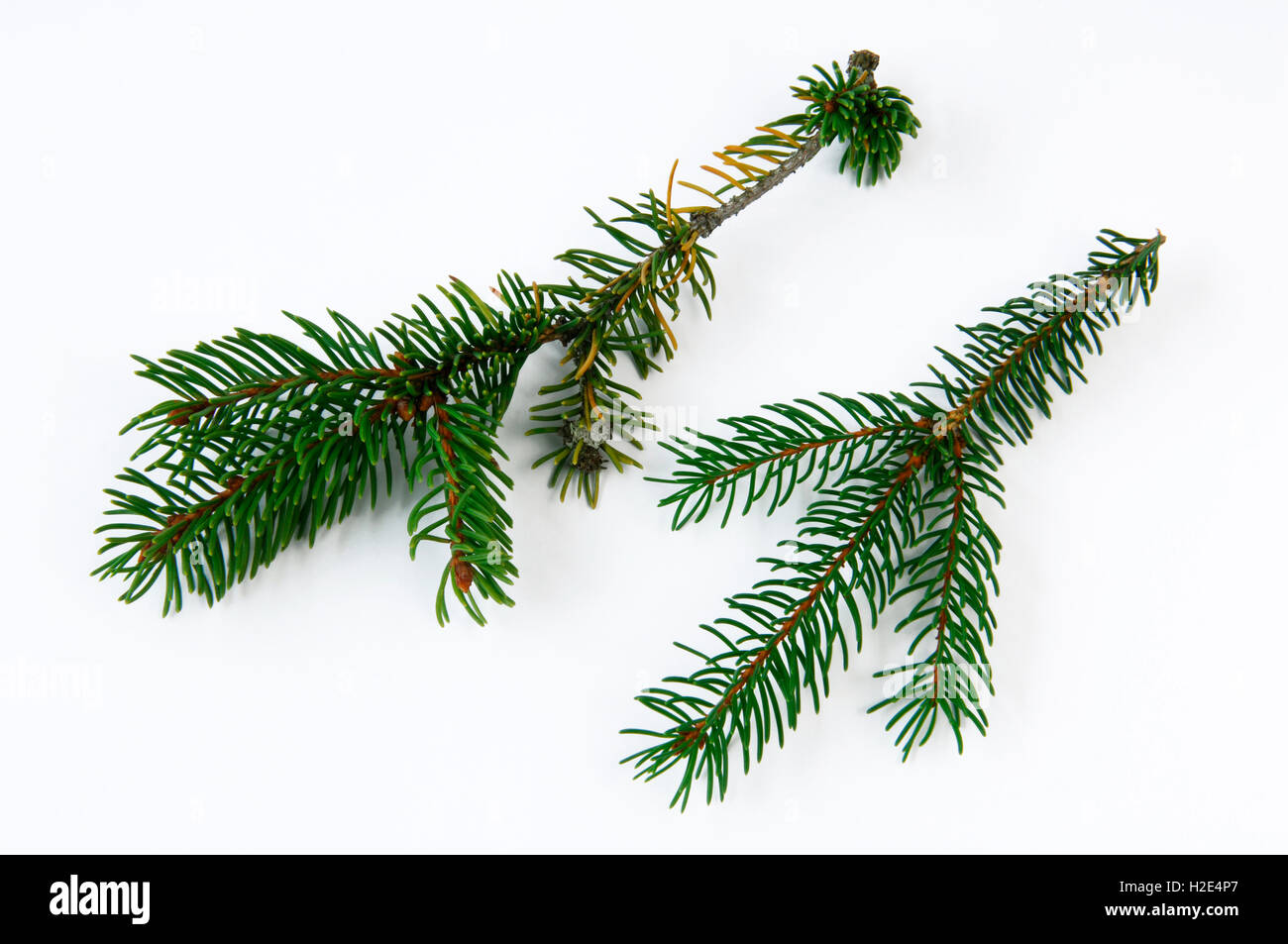 Norway Spruce, Common Spruce (Picea abies). Healthy and damaged twig with fallen off needles and discoloration of Stock Photo