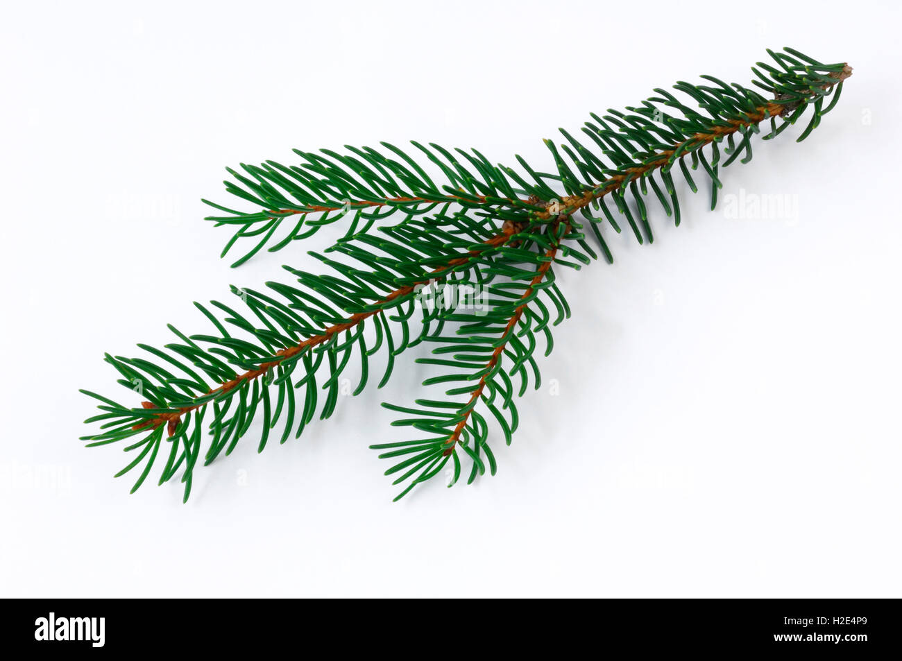 Norway Spruce, Common Spruce (Picea abies). Healthy twig. Studio picture against a white background. Germany - Stock Image