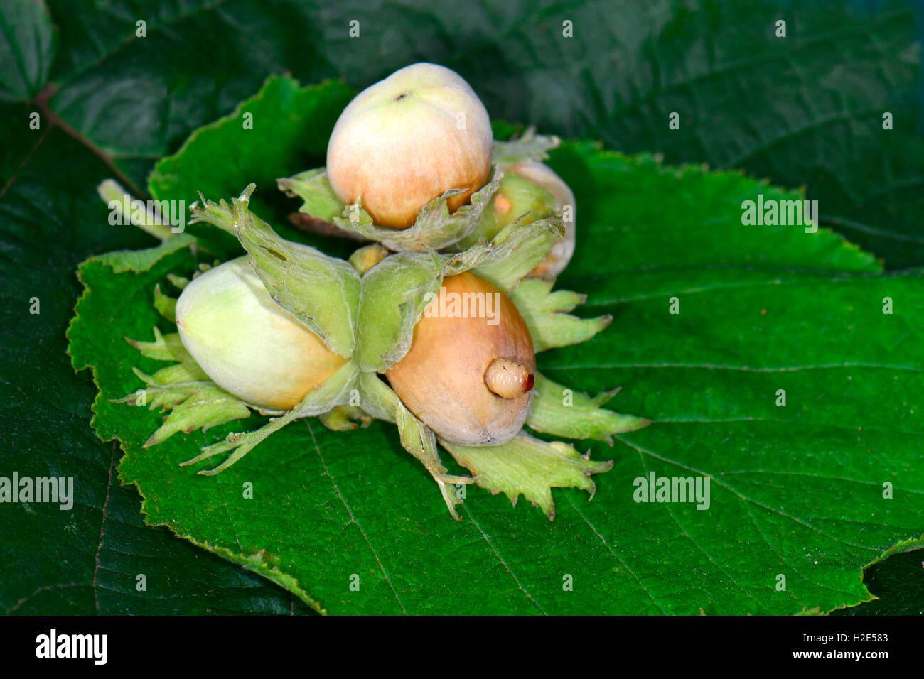 ground beetle larva stock photos  u0026 ground beetle larva