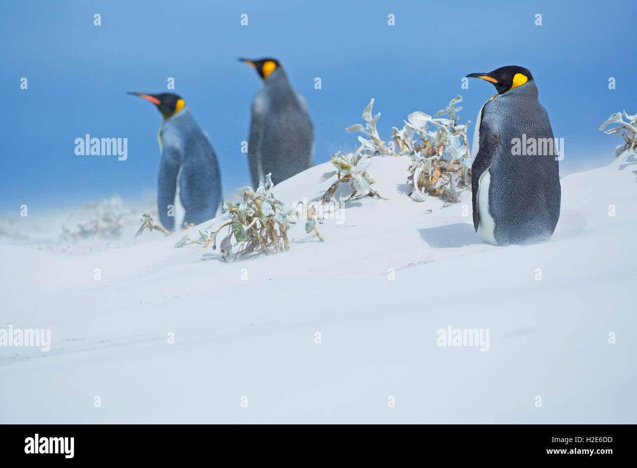 Three king penguins in snow, East Falkland, Falkland Islands, South Atlantic - Stock Image