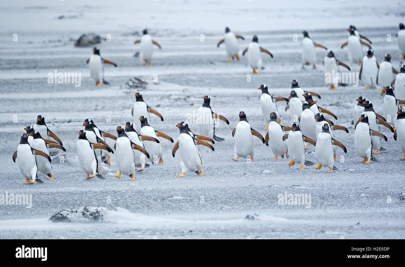 Gentoo Penguins (Pygoscelis papua papua), colony marching in line, Sea Lion Island, Falkland Islands, South Atlantik - Stock Image