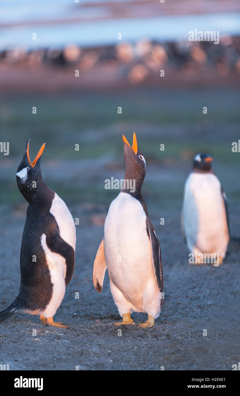Gentoo penguins singing (Pygoscelis papua papua), Sea Lion Island, Falkland Islands, South Atlantic Stock Photo