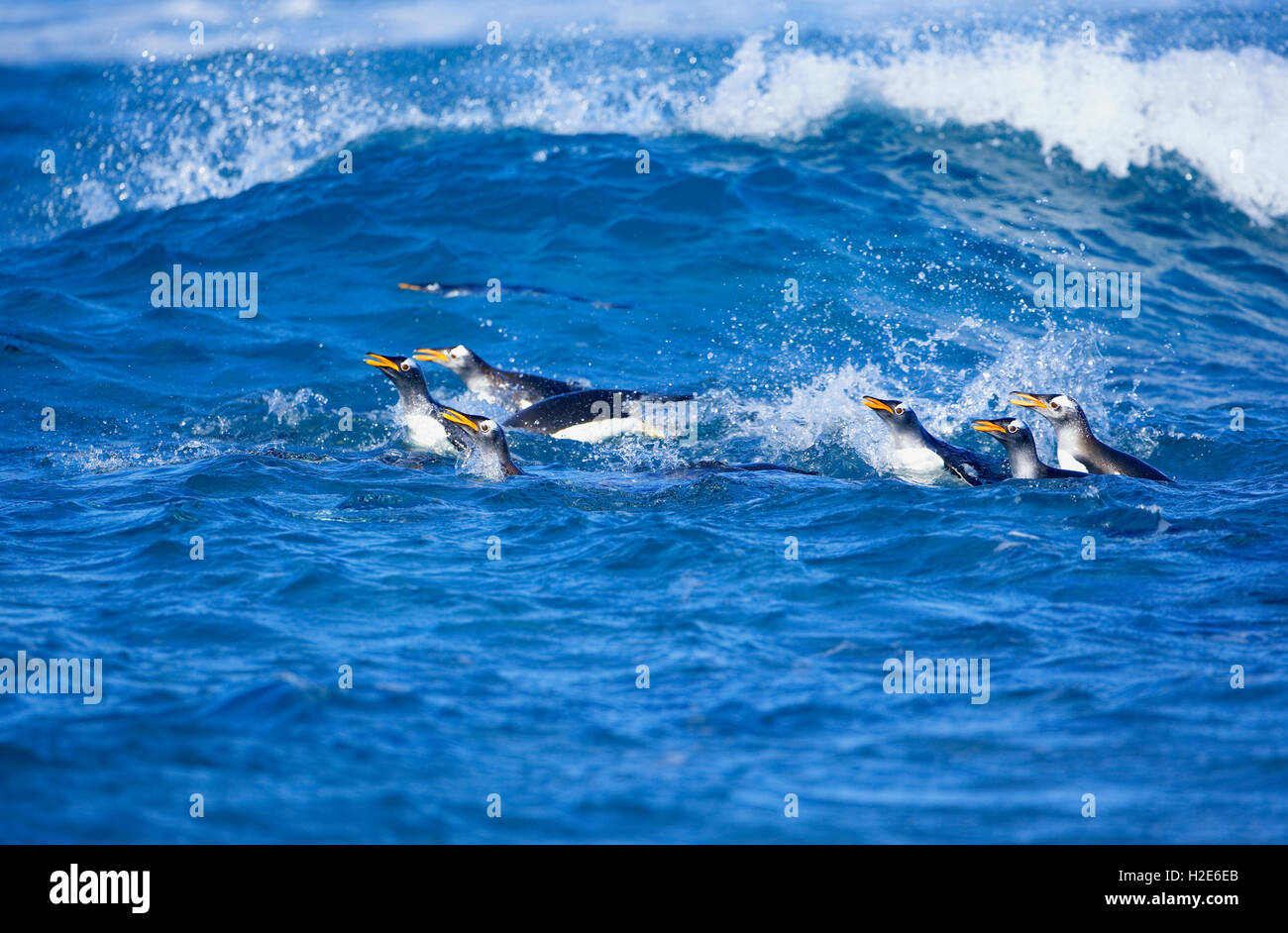 Gentoo Penguins (Pygoscelis papua papua), colony swimming together, Falkland Islands,South Atlantic - Stock Image