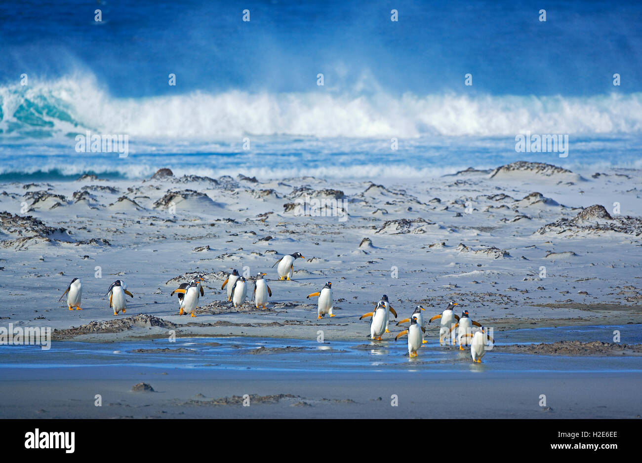 Gentoo Penguins (Pygoscelis papua papua), colony walking on beach, Falkland Islands, South Atlantic - Stock Image