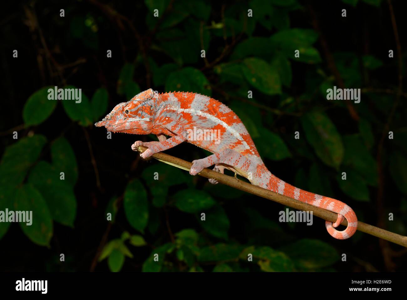 Angel's chameleon (Furcifer angeli), dry forest, northwestern Madagascar - Stock Image