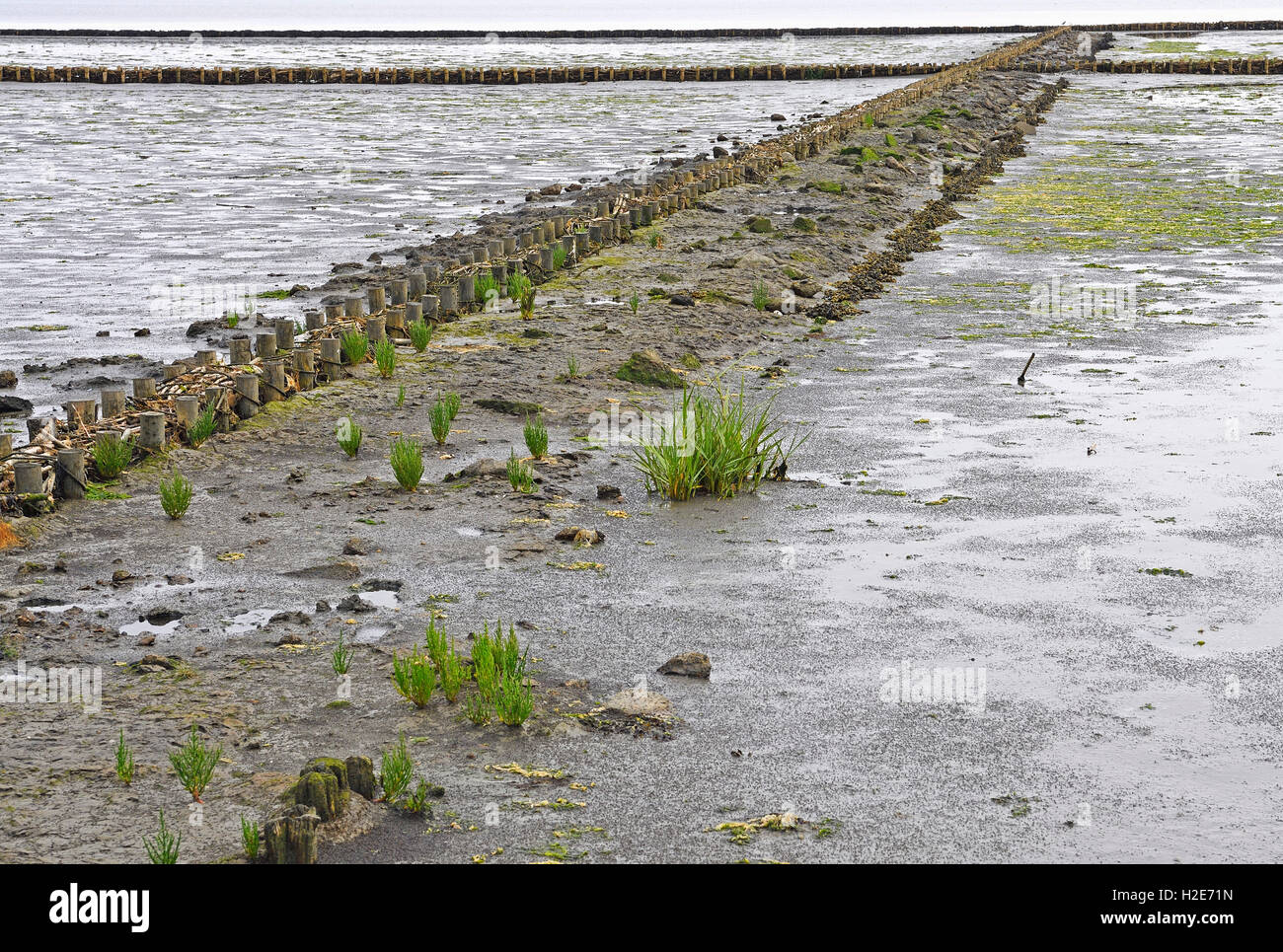 Fascines for support in tidal flat, Wadden Sea, Keitum, Sylt, North Frisian Islands, North Frisia, Schleswig-Holstein, - Stock Image