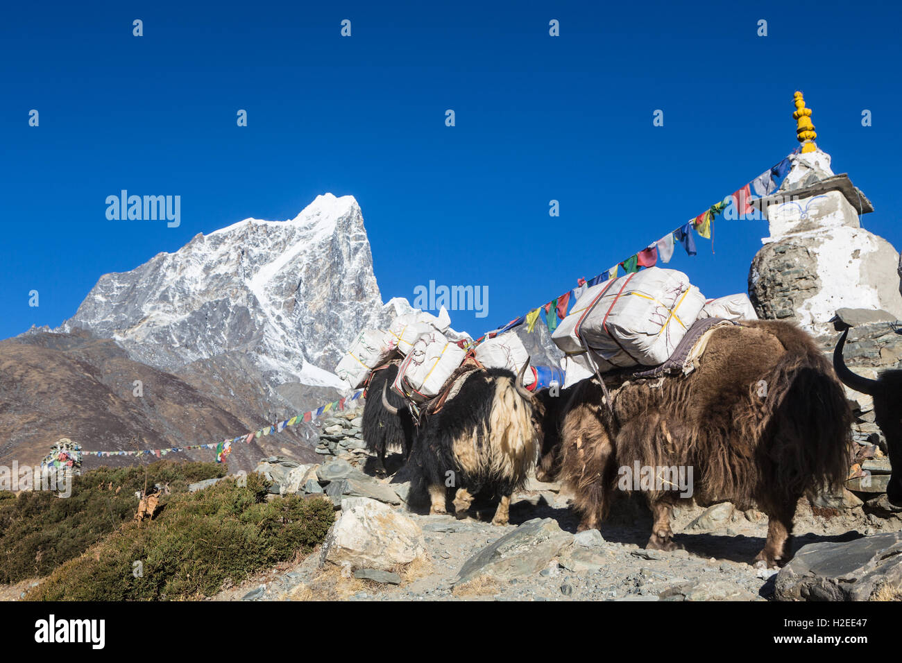 Yaks carrying good above the Dingboche (4800m) on the way to Everest Base camp in the Khumbu region of Nepal. The - Stock Image