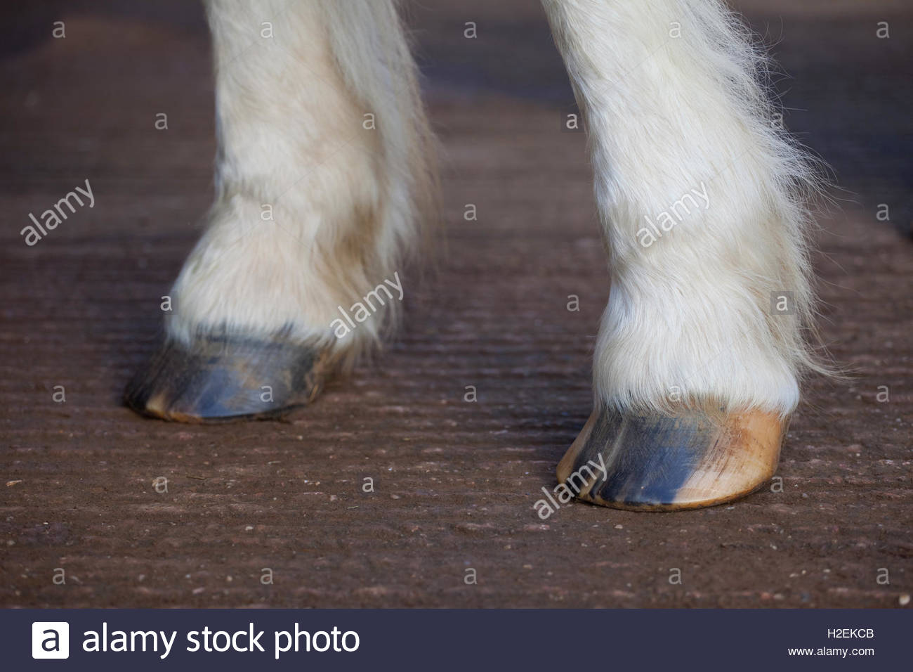 Front hooves of a horse. - Stock Image