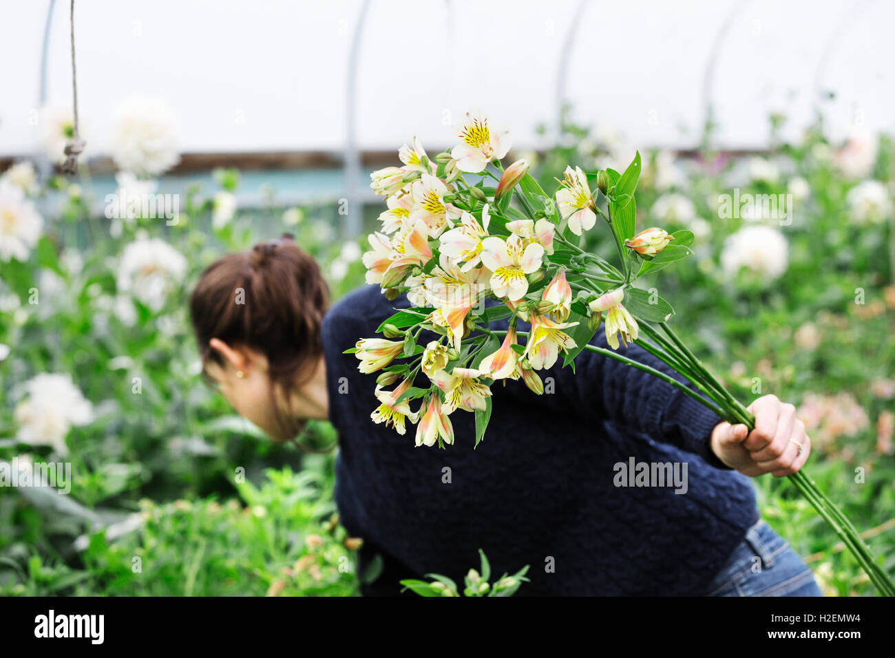 A woman picking cut flowers from the cuttings beds in a polytunnel. - Stock Image
