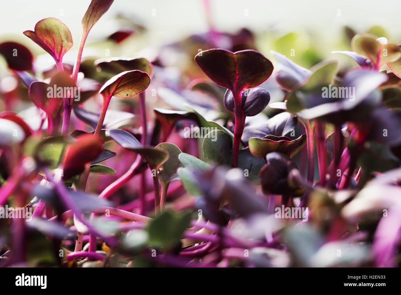 Close up of red salad leaves and micro leaves growing. - Stock Image