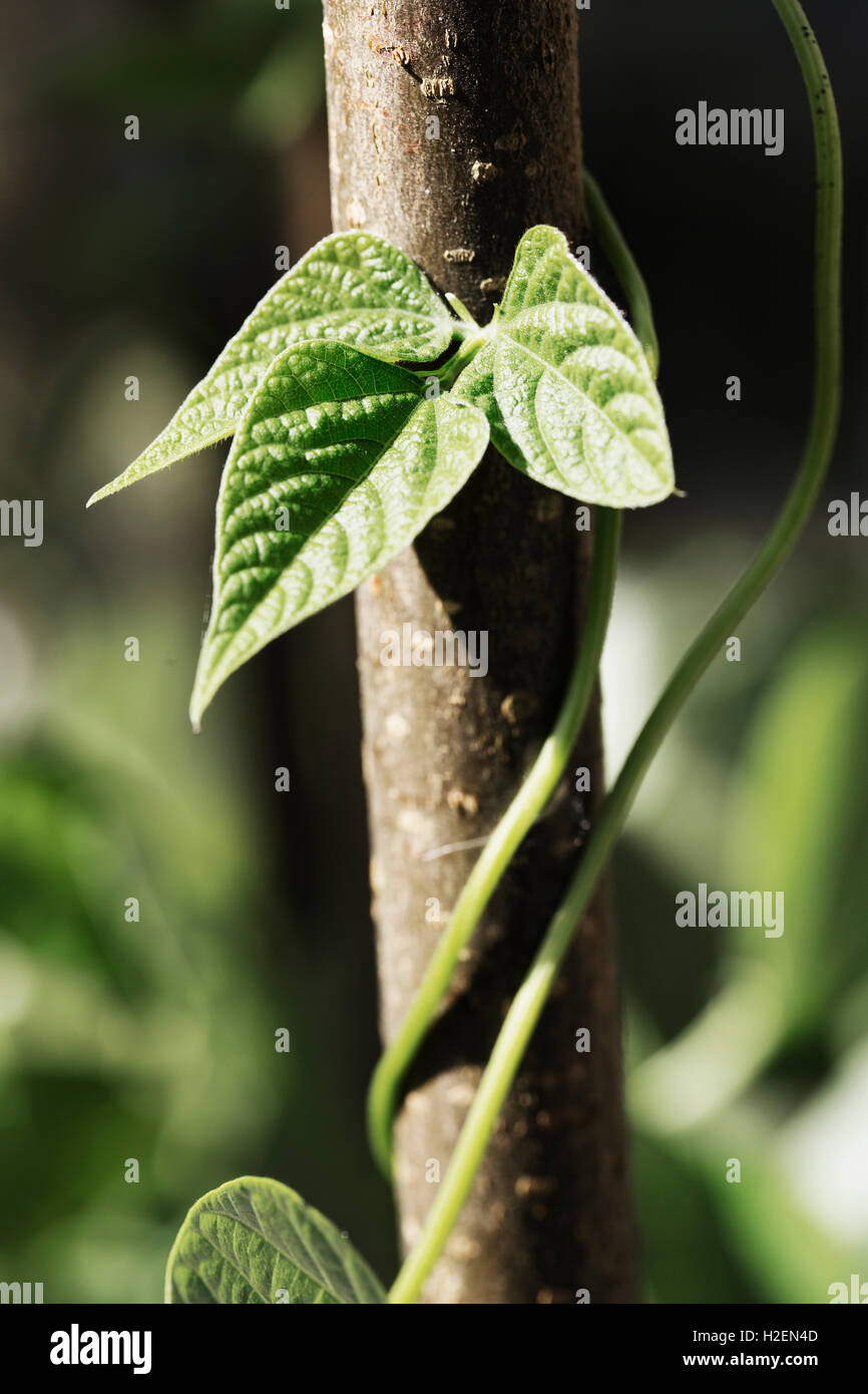 Bean plants climbing and twining around a pole in a vegetable garden. - Stock Image