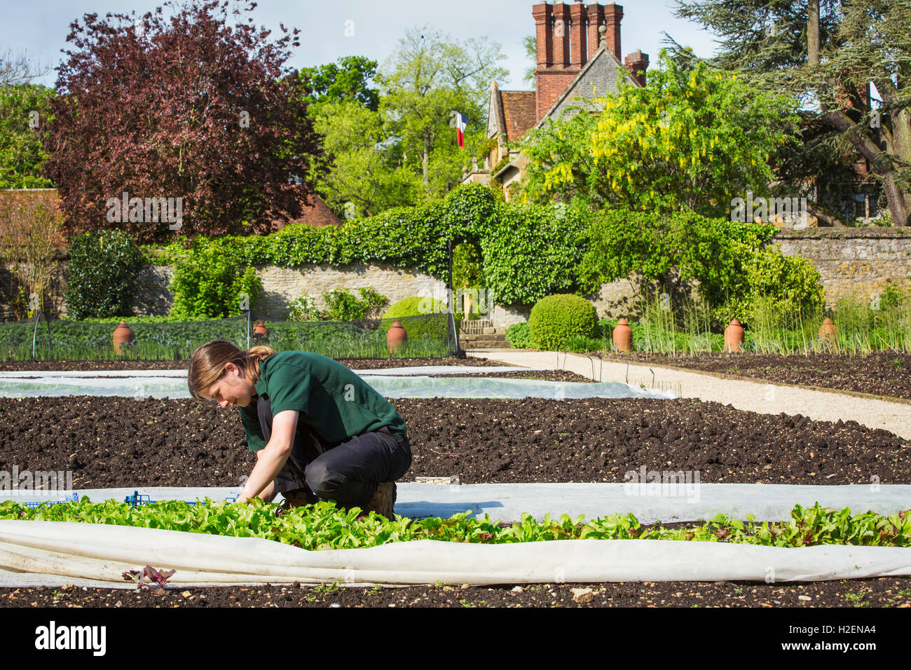 A woman working in a walled garden, harvesting vegetables from plants under horticultural fleece. - Stock Image