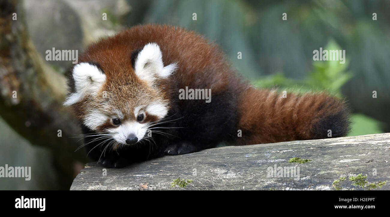 Zlin, Czech Republic. 26th Sep, 2016. Red panda cub sits in a tree in the zoo Zlin, Czech Republic, September 26, - Stock Image