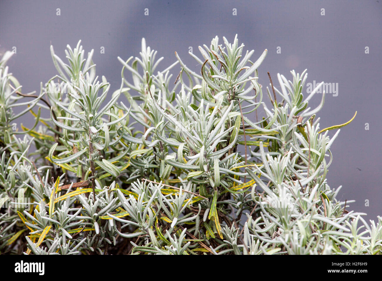 lavender without flowers stock photo 122036357 alamy