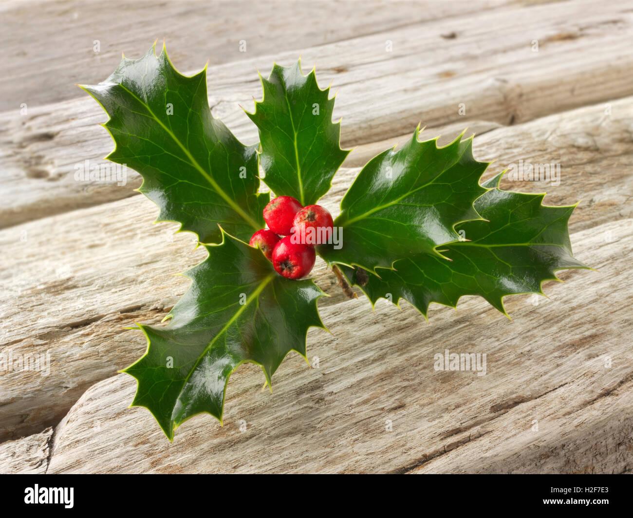 Festive seasonal Holly leaves with red berries - Ilex aquifolium - Stock Image