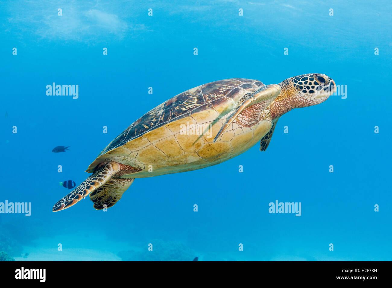 Green turtle (Chelonia mydas) Apo Island, Philippines - Stock Image