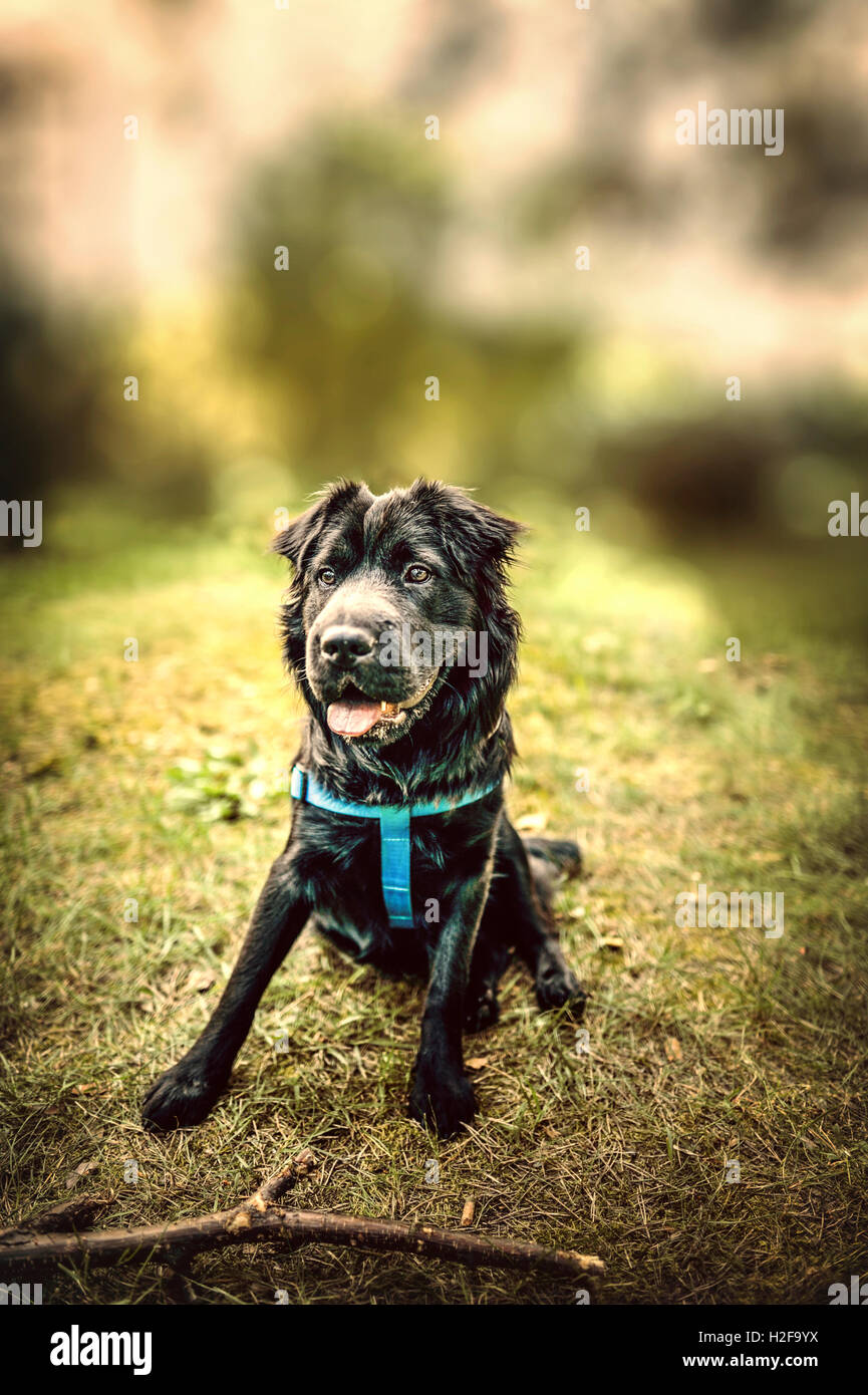 pretty black dog sitting on the grass waiting for the owner command - Stock Image