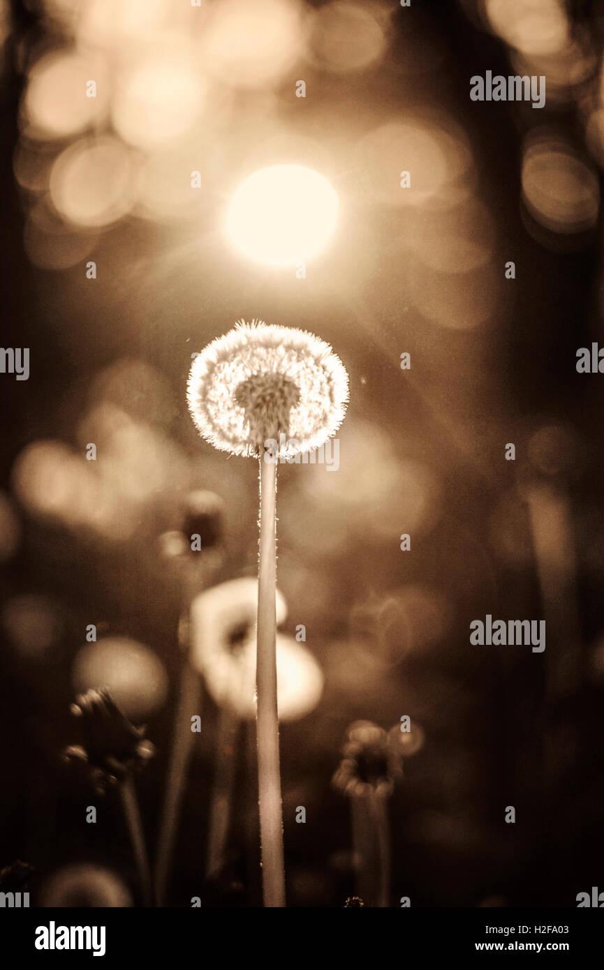 a single tall dandelion growing tall in fields - Stock Image