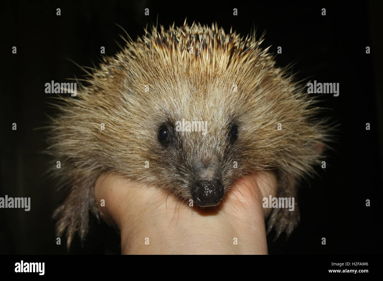 spiny hedgehog on palm - Stock Image