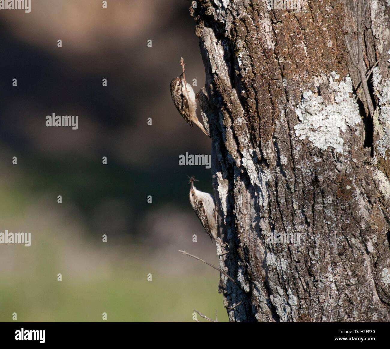Short-toed Treecreeper pair (Certhia brachydactyla), Spain on Olive tree - Stock Image