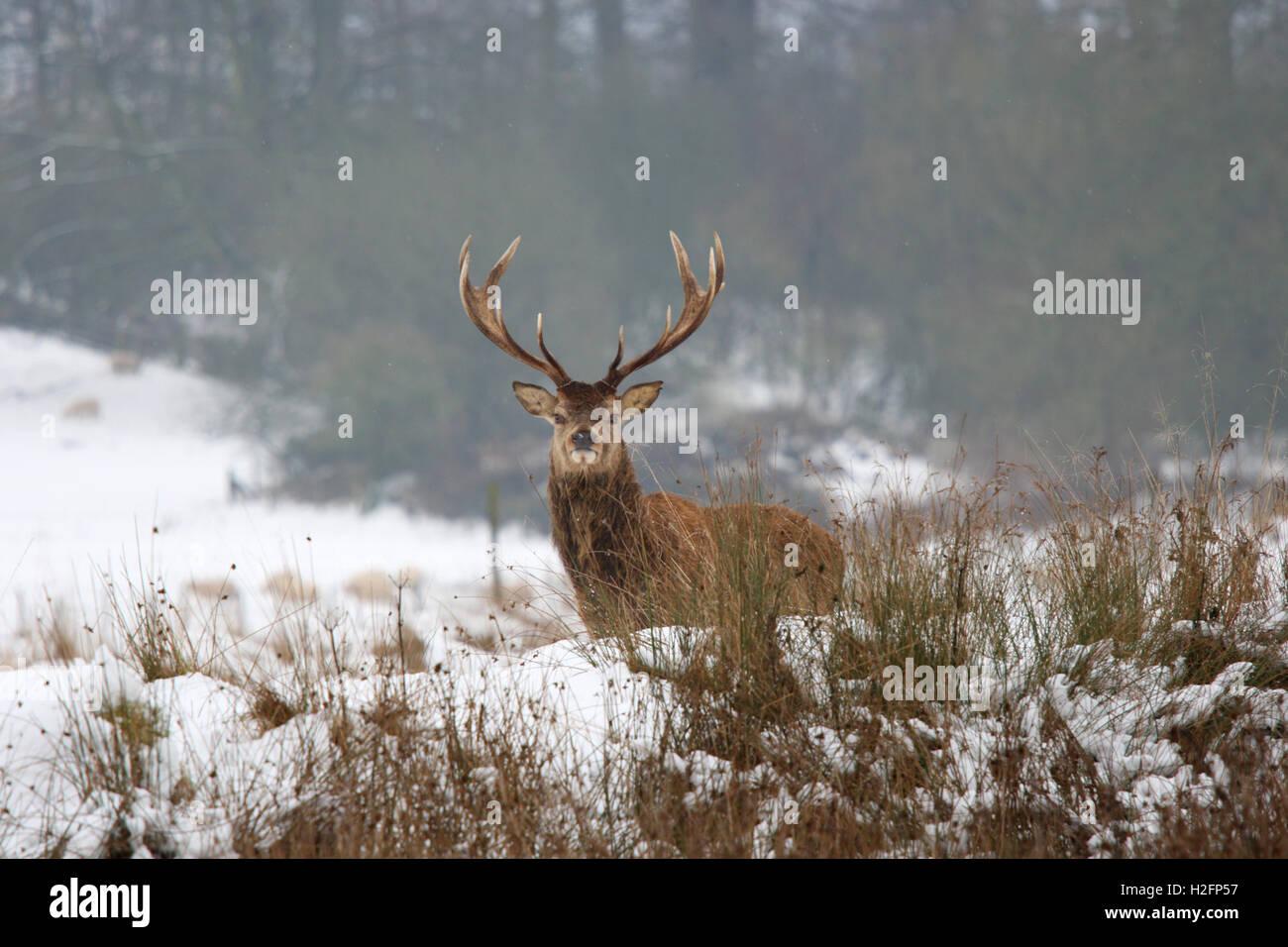 Red Deer (Cervus elephas) stag in winter, Powis Park, Welshpool - Stock Image