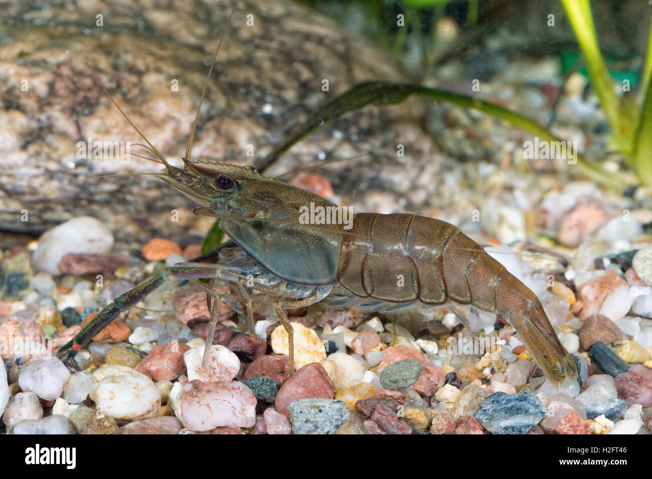 Freshwater Prawns Images - Reverse Search