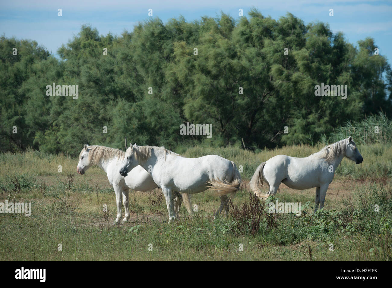 Three Camargue horses, indigenous to the Camargue area in southern France - Stock Image