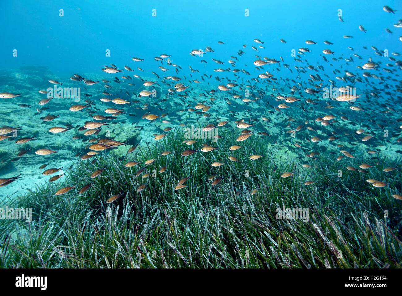 Neptune seagrass meadow, Posidonia oceanica, and damsel fishes, Chromis chromis, Bodrum Turkey - Stock Image