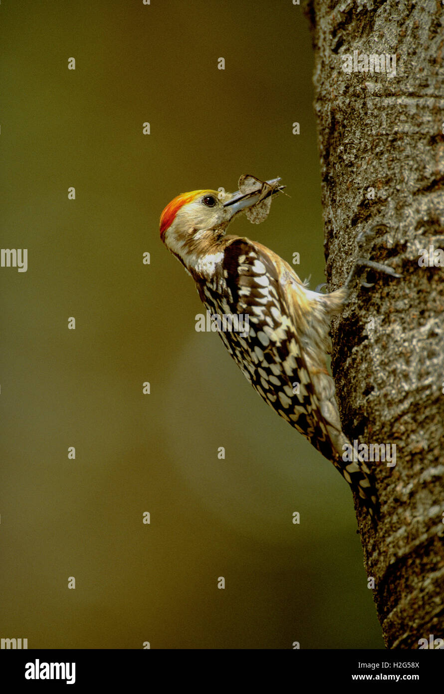 male Yellow-crowned or Mahratta woodpecker,(Dendrocopos mahrattensis),with insect food,Keoladeo Ghana National Park, - Stock Image