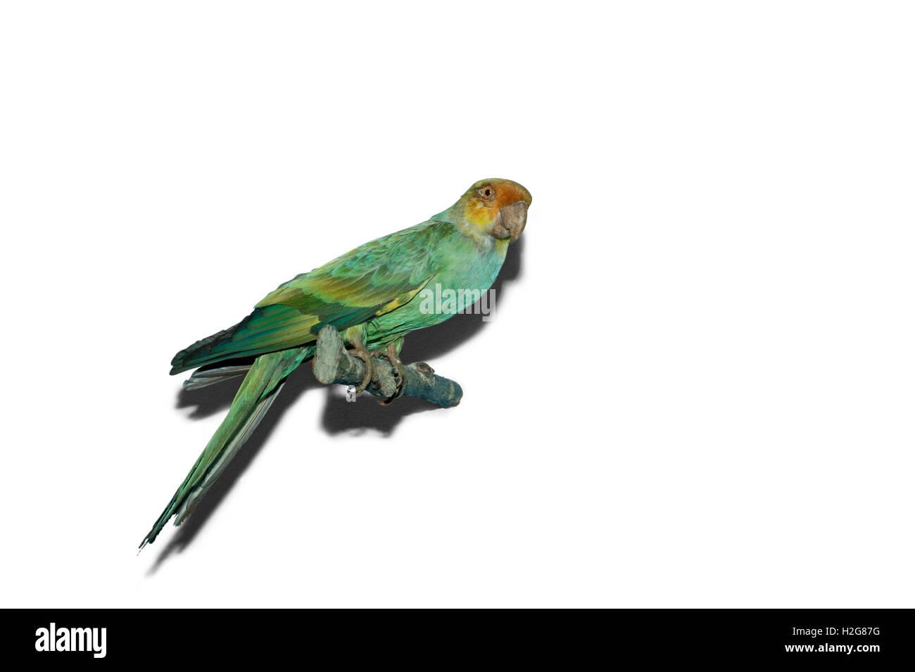Carolina Parakeet from North America now extinct - Stock Image