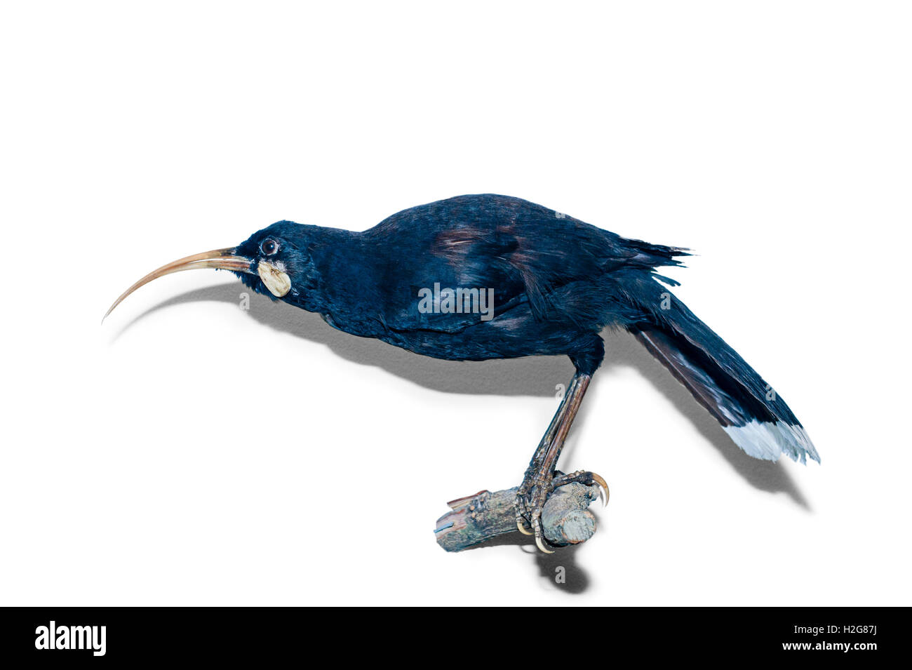 Huia Heteralocha acutirostris North Island New Zealand now extinct Stock Photo