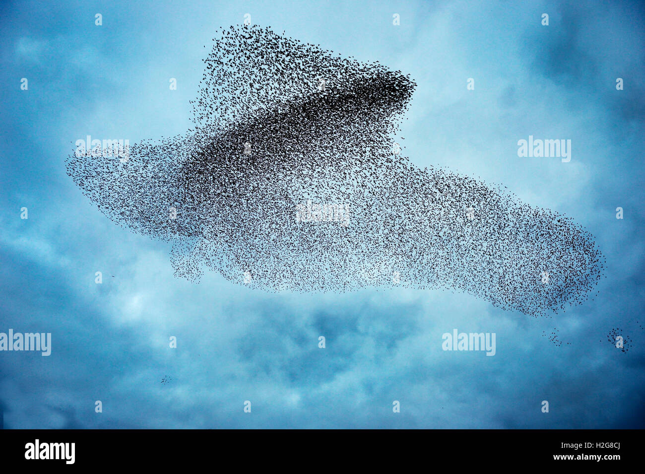 Starlings Sturnus vulgarus flocking before roosting this shape making in the sky is known as a murmuration Gretna - Stock Image