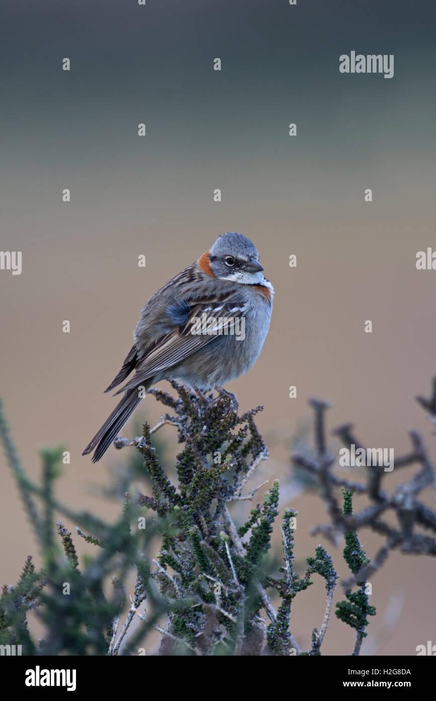Rufous-collared Sparrow Zonotrichia capensis male Patagonia Chile Stock Photo