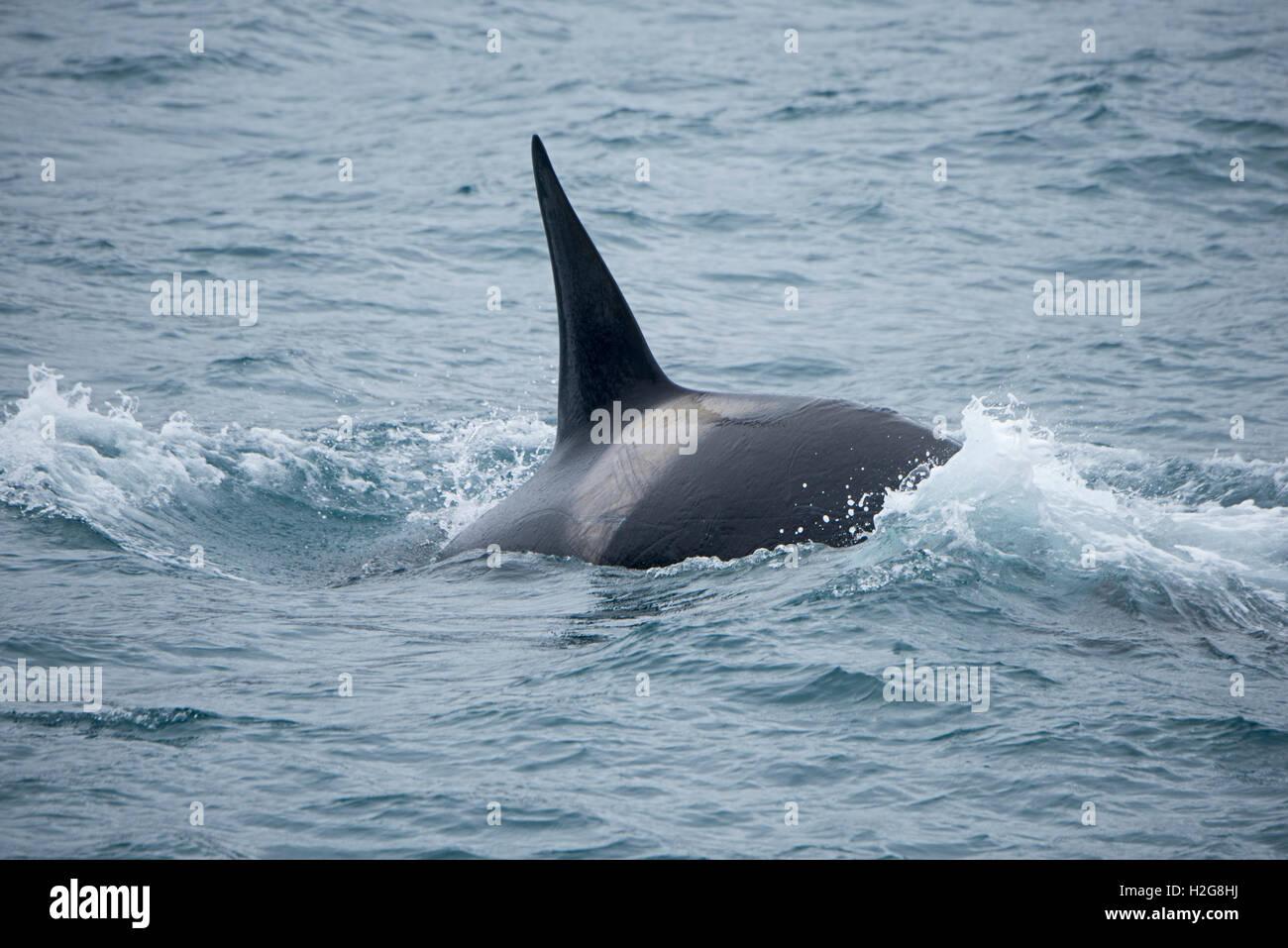 Killer Whale Orcinus orca off South Georgia - Stock Image