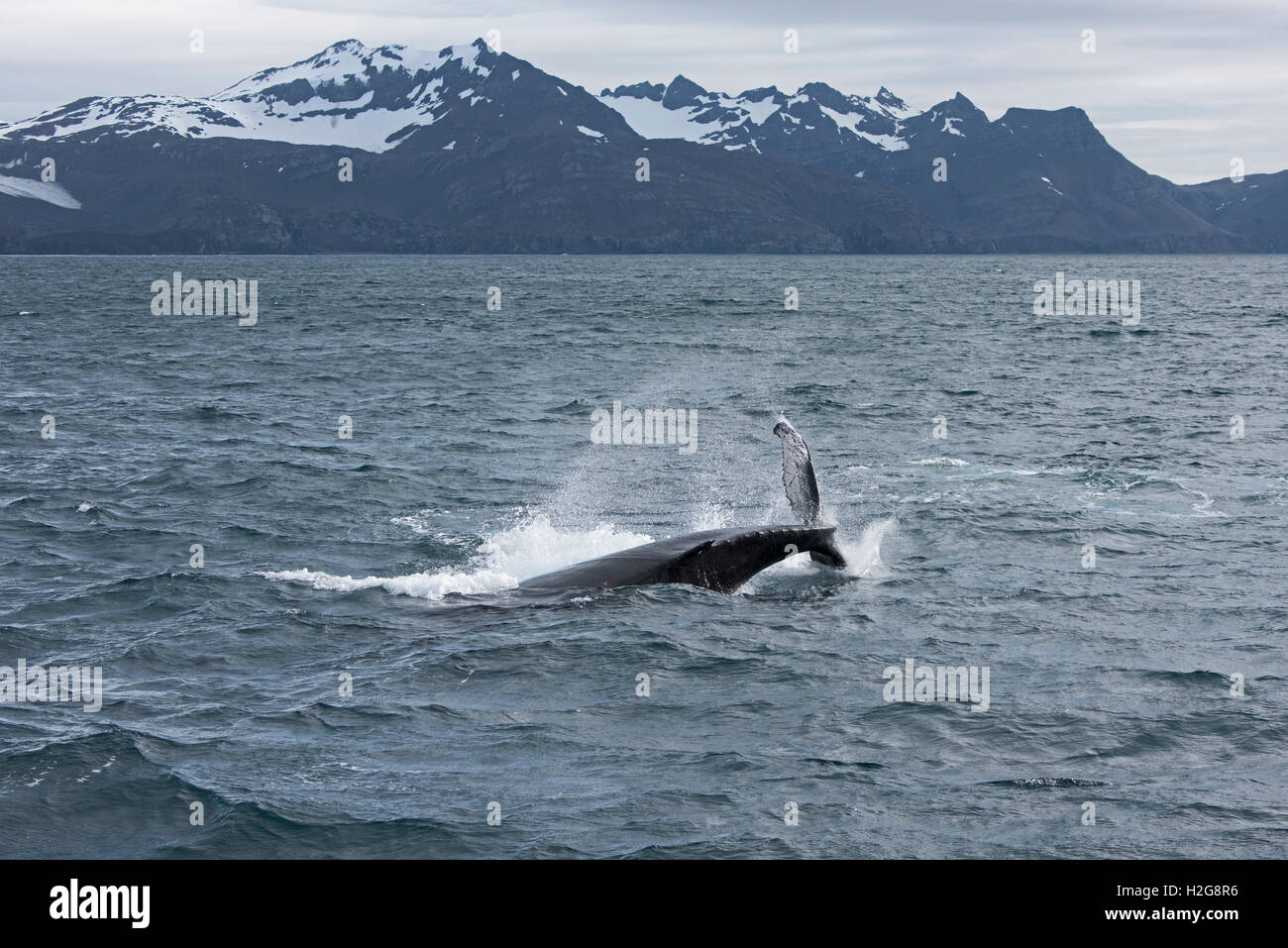 Humpback Whale, Megaptera novaeangliae tail slapping off Weddell Point, South Georgia, January - Stock Image