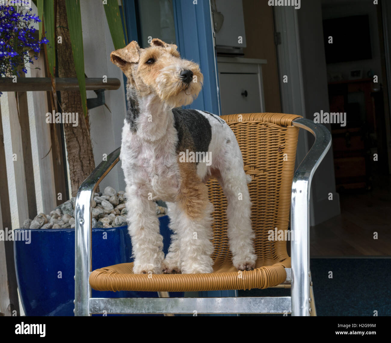 Terriers, fox - Stock Image