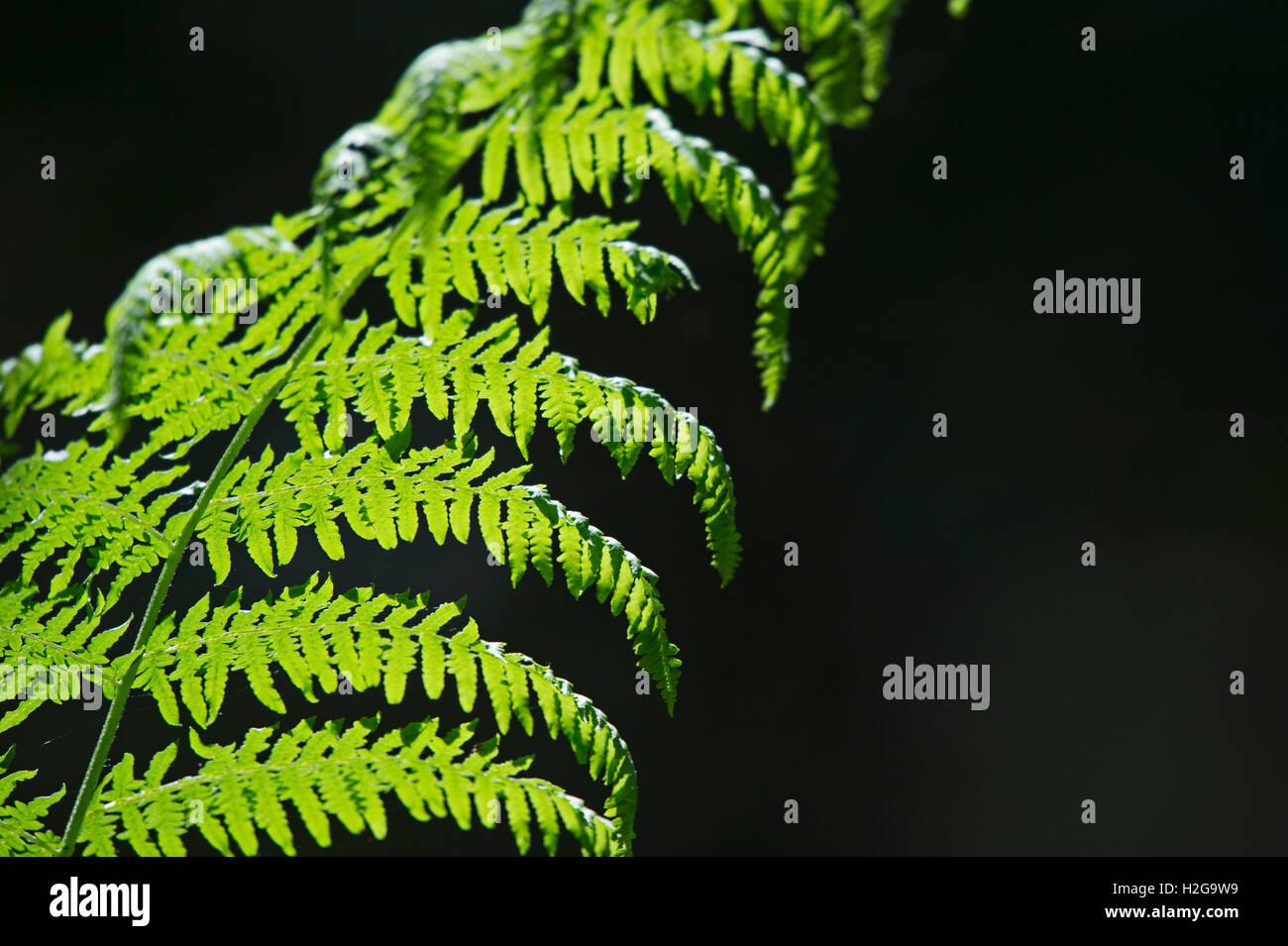 Bracken Pteridium aquilinum frond backlit in woodland Norfolk July Stock Photo