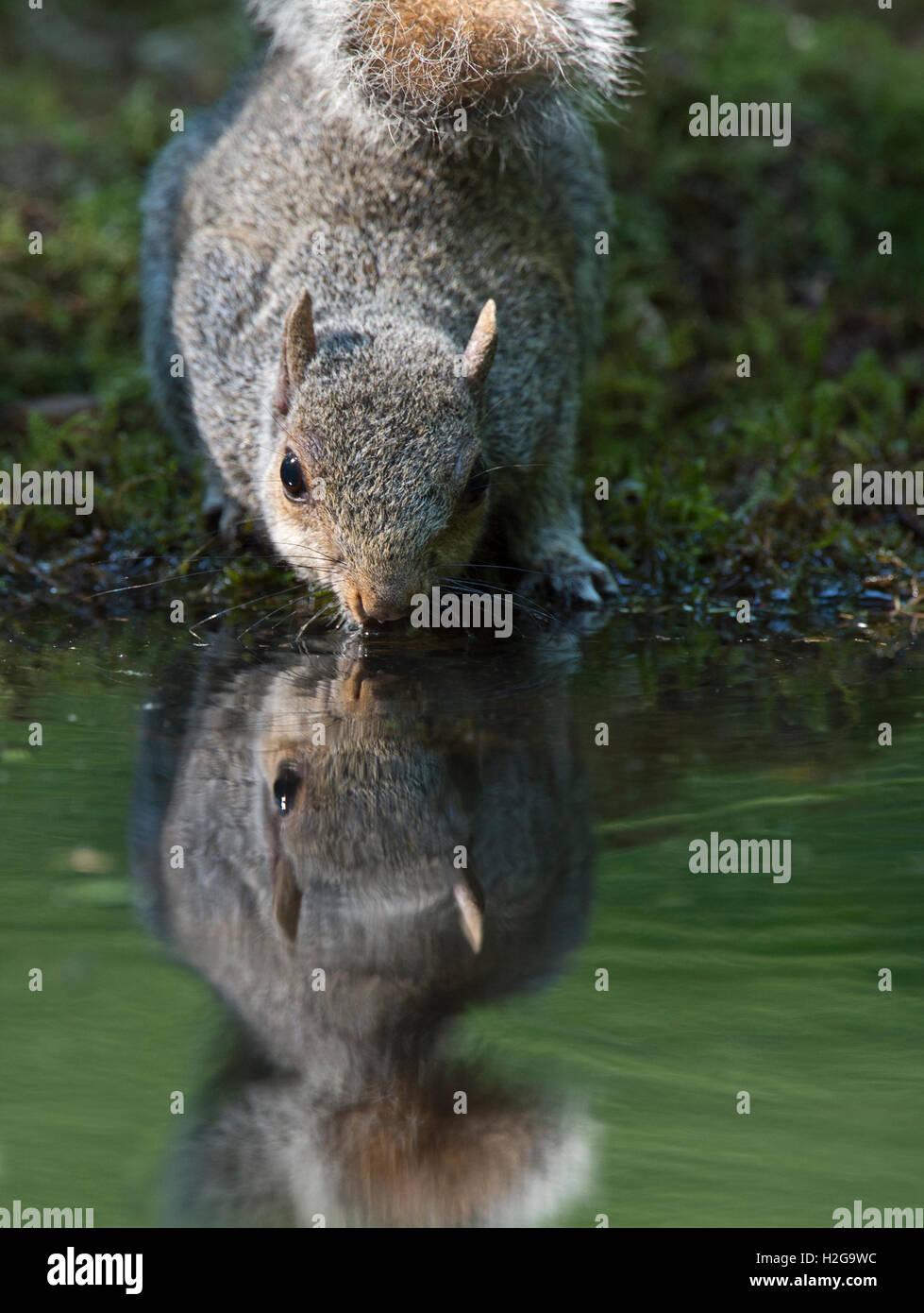 Grey Squirrel Sciurus carolinensis drinking at woodland pool Norfolk UK summer - Stock Image