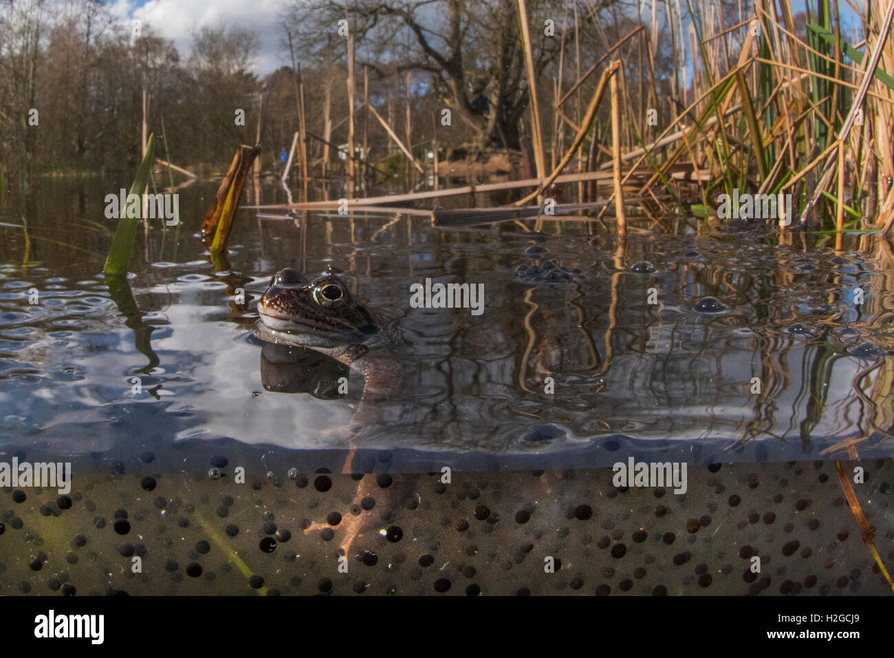 Common Frog, Rana temporaria among frog spawn Cromer Norfolk March - Stock Image