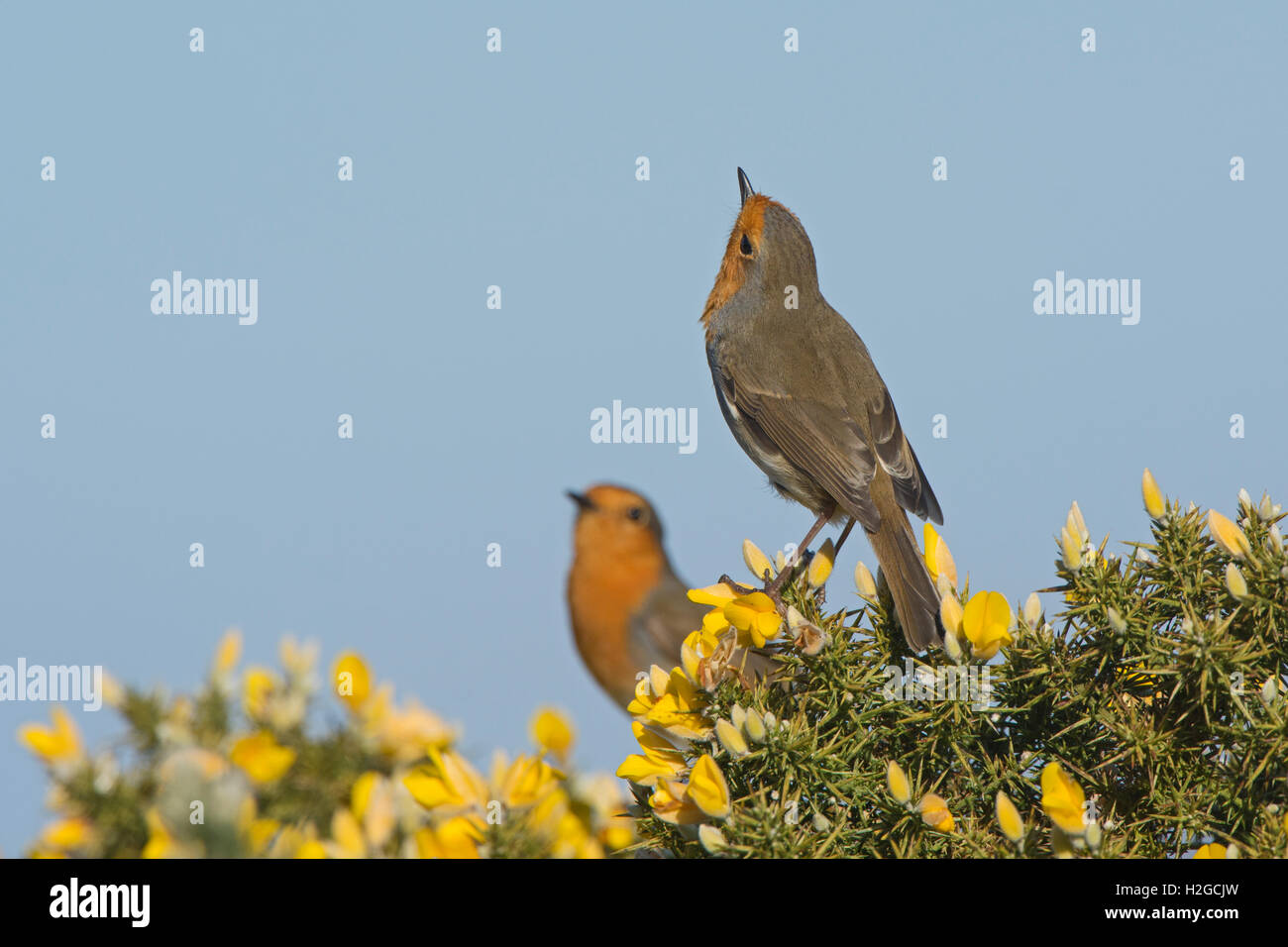 Robin Erithacus rubecula  in males in threat display Norfolk March - Stock Image