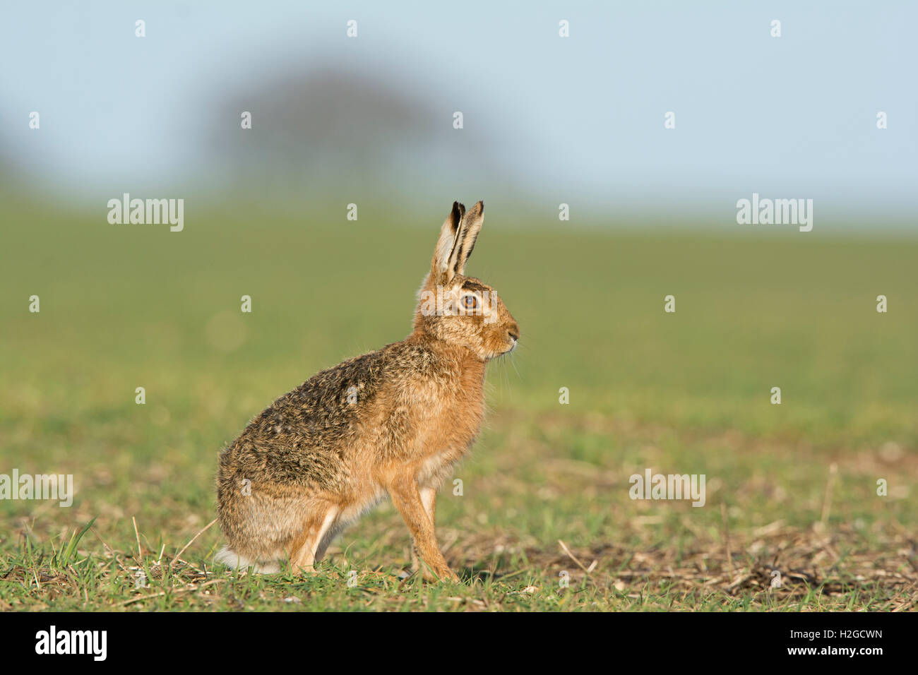 Brown Hare Lepus europaeus near Holt Norfolk March - Stock Image