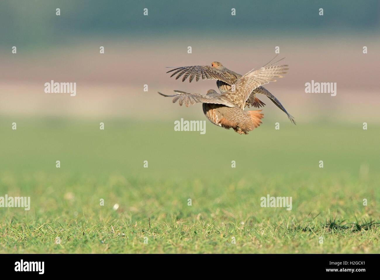 Grey Partridges Perdix perdix male North Norfolk March - Stock Image