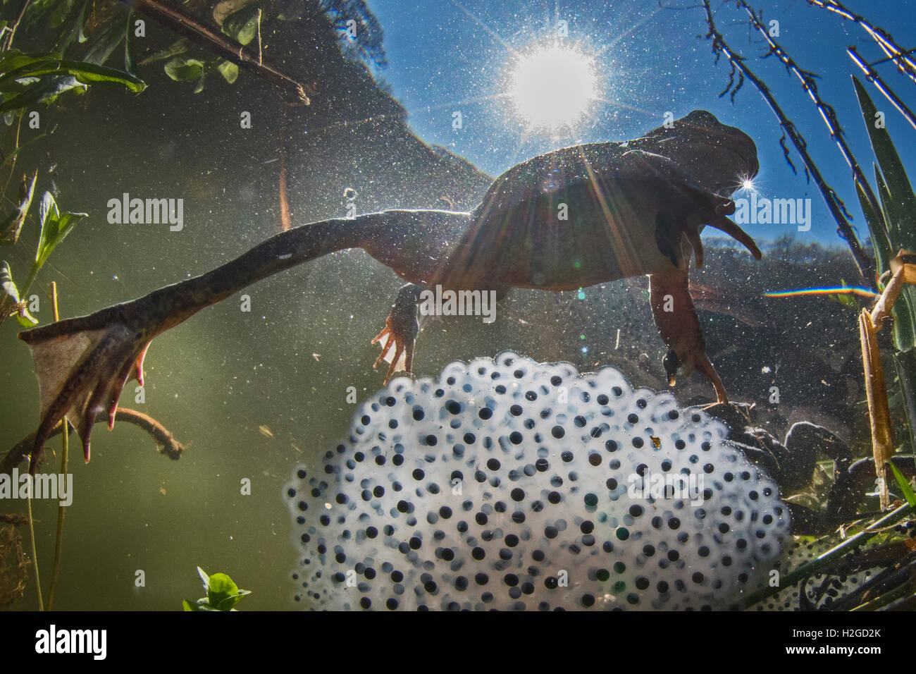 Common Frog, Rana temporaria and frog spawn in pond in spring North Norfolk - Stock Image