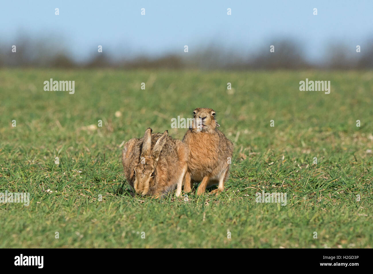 Brown Hare, Lepus europaeus male smelling scent North Norfolk March - Stock Image