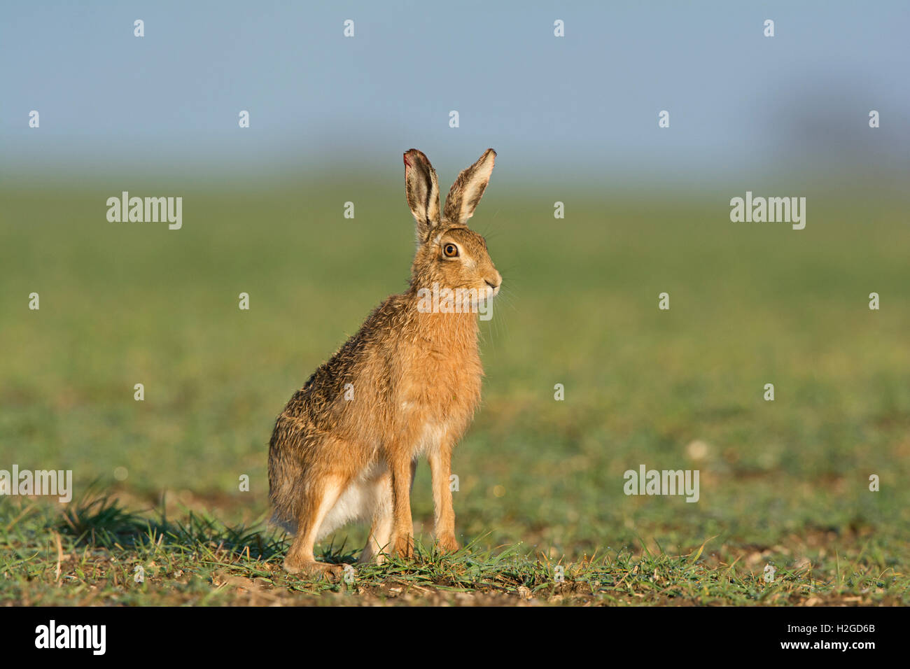 Brown Hare, Lepus europaeus, North Norfolk March - Stock Image