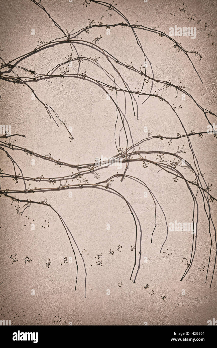 Creeping withered plant on wall background, vintage filter applied. - Stock Image