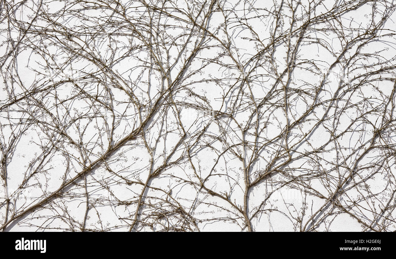 Creeping withered plant on wall background. - Stock Image