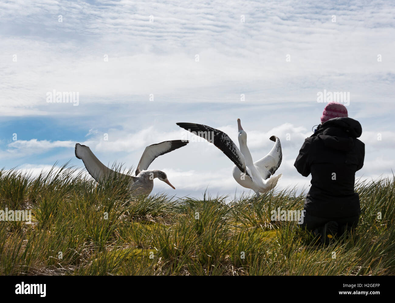 Tourists photographing Wandering Albatross's Bay of Isles South Georgia Stock Photo