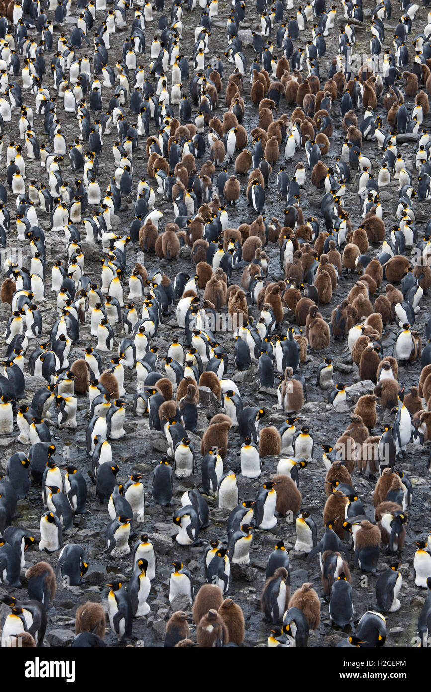 Looking down on the vast King Penguin (Aptenodytes patagonicus) colony at Salisbury Plain on South Georgia.  Estimated - Stock Image