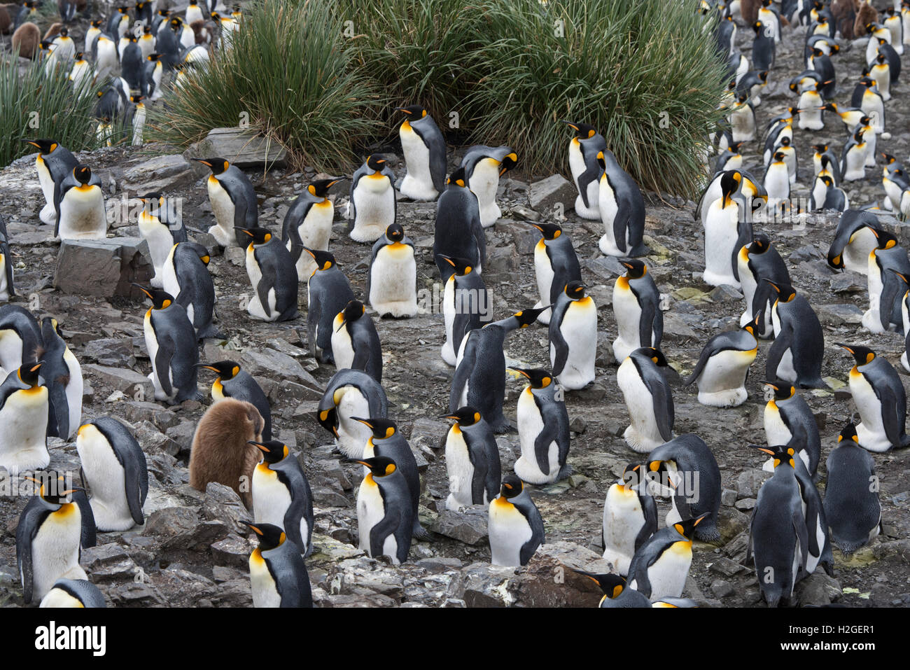 Looking down on the vast King Penguin (Aptenodytes patagonicus) colony at Salisbury Plain on South Georgia.  Estimated Stock Photo